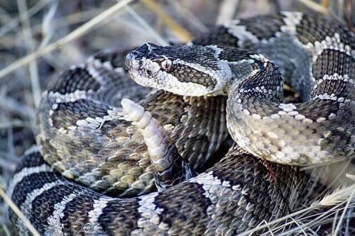 Il serpente a sonagli, il più velenoso del Nord America