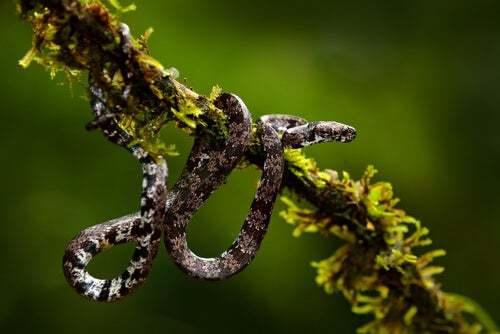 La strana dieta dei serpenti scoperti in Ecuador