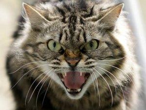 Le possibili cause dell'aggressività nei gatti