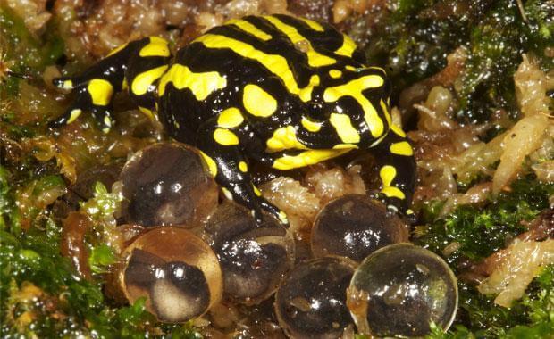 Deposizione delle uova da parte della rana corroboree