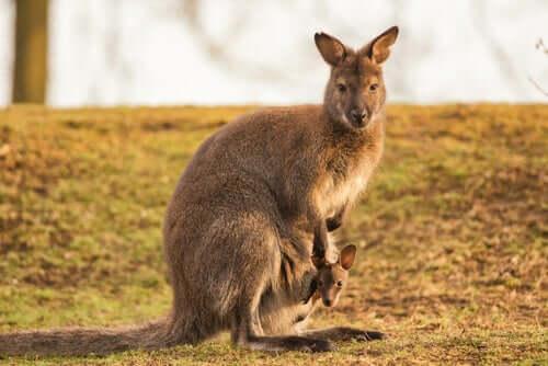 Il wallaroo orientale: conoscete questo tenero animale?
