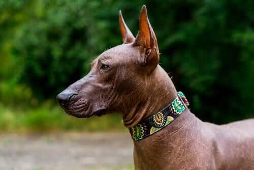 Lo xoloitzcuintle: il cane dal nome più strano in assoluto