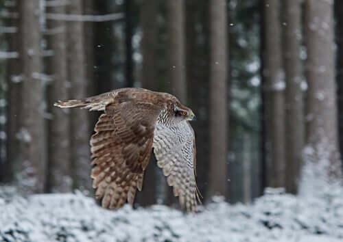 Rapace che vola in un bosco
