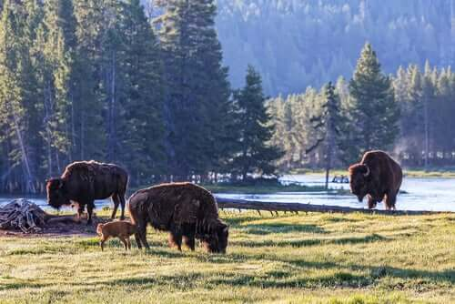 Yellowstone ospita un gran numero di esemplari di bisonte