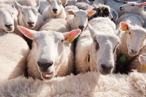 Uno studio dimostra che le pecore riconoscono le persone