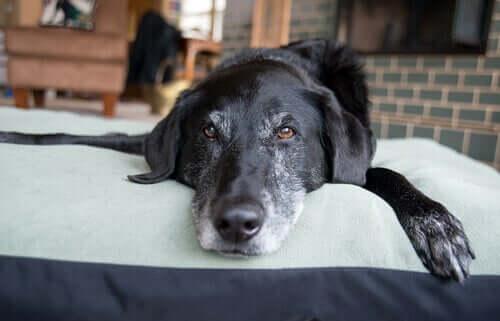 Olio di lavanda per cani: un rilassante naturale
