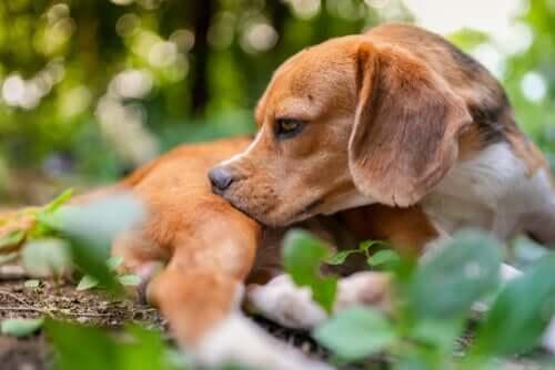 Il tempo che il cane trascorre all'aperto aumenta la sua esposizione alle punture di insetto