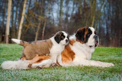 Il cane di San Bernardo è un ottimo cane da guardia