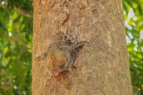 Galopiteco su un albero