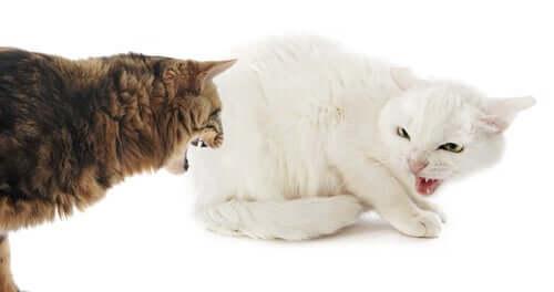 Dare un compagno al proprio gatto può essere una misura per incanalare altrove la sua aggressività