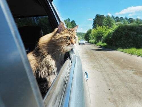 Come trasportare un gatto nervoso in auto
