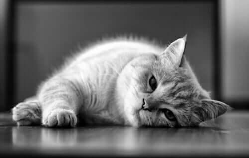 La leishmaniosi felina: cause e trattamento