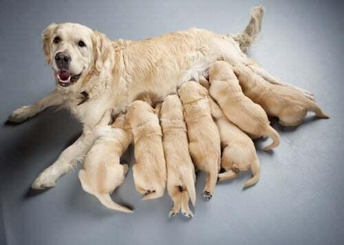 Gravidanza e allattamento nei cani