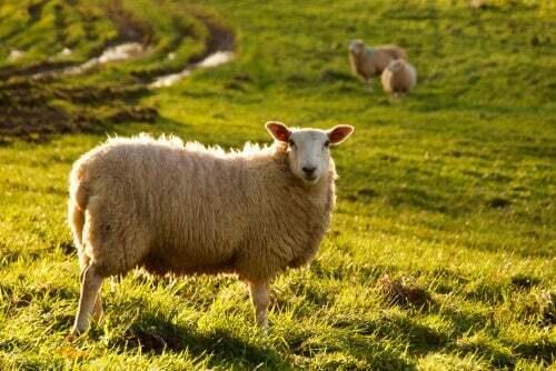 Intelligenza della pecora