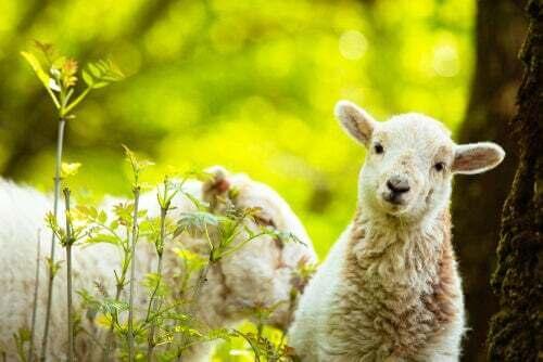 Le pecore riconoscono le persone