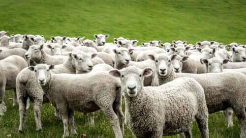 La domesticazione della pecora nella storia