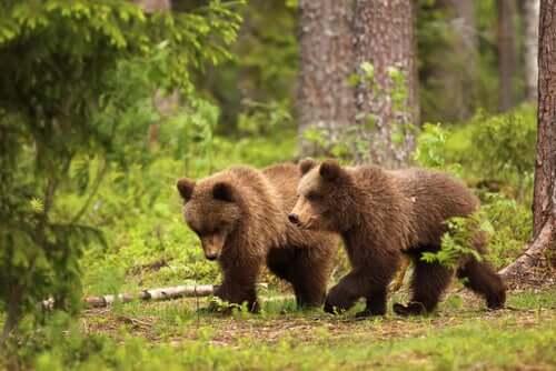 anche se in alcuni casi sono stati addomesticati, gli orsi rimangono animali domestici pericolosi