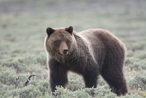 l'orso grizzly è il re del parco naturale di Yellowstone