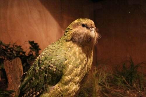 Scoperto il fossile di un pappagallo gigante in Nuova Zelanda