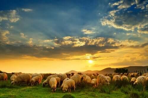 Domesticazione della pecora e pascolo al tramonto