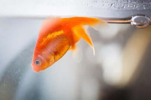Pesce rosso in un acquario