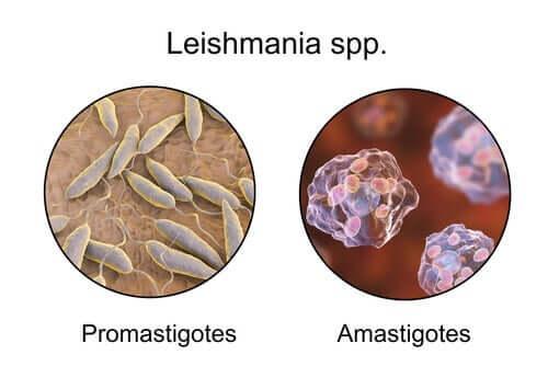 Promastigoti e amastigoti sono le forme principali del protozoo del genere Leishmania