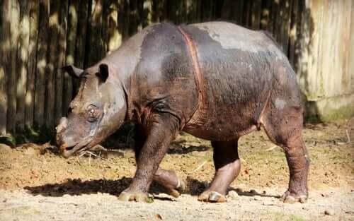 La delicata situazione del rinoceronte di Sumatra