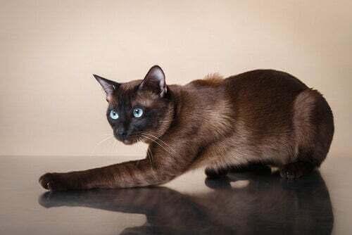 Scopriamo insieme il gatto tonkinese