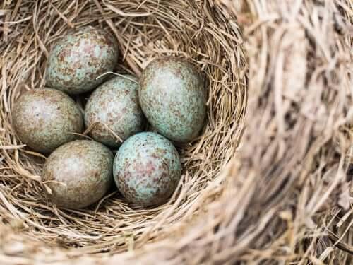 Uova di cuculo nel nido