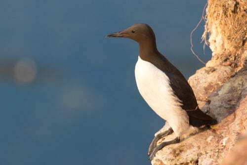 L'uria: un uccello con le uova a prova di caduta