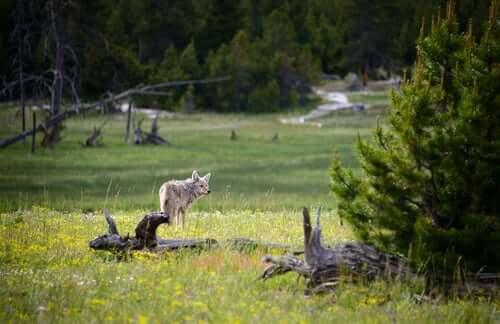 5 specie animali a rischio di estinzione a Yellowstone