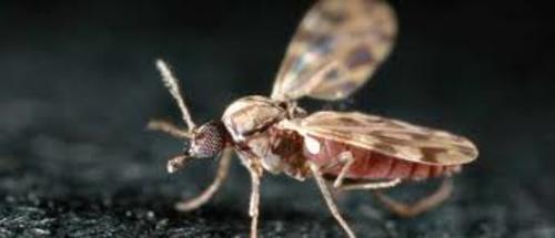 Zanzara culcoide