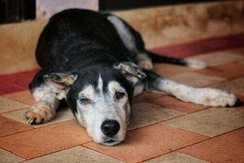 Cause dell'atrofia muscolare nei cani: cane anziano sta sdraiato sul pavimento.