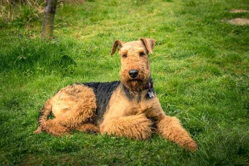 Airdale terrier carattere