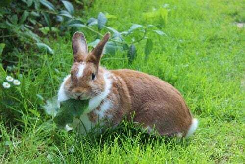 coniglio mangia una foglia: obesità nei conigli
