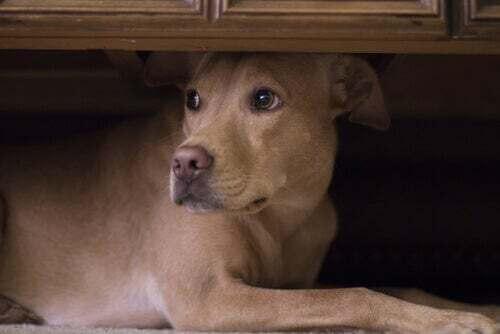 Cane impaurito si nasconde sotto un mobile.