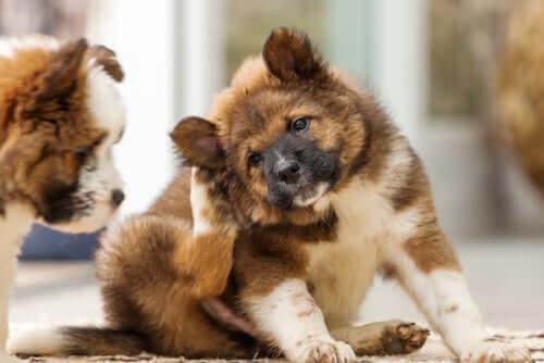 Cane si gratta per via della dermatite