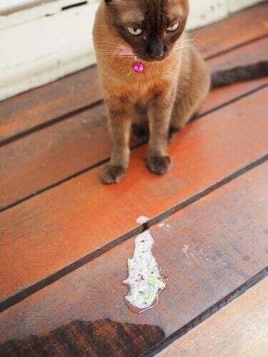 Cause di vomito nei gatti