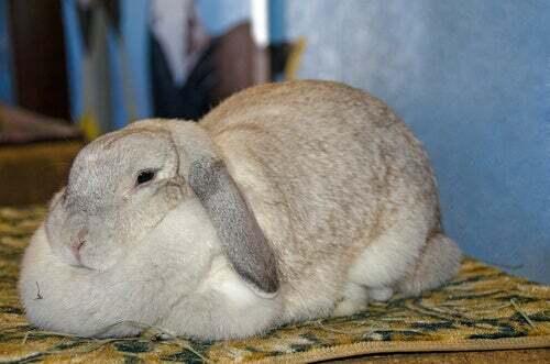 L'obesità nei conigli: sintomi e cause