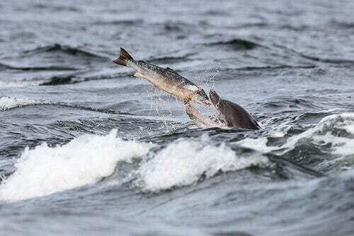 Delfino che caccia