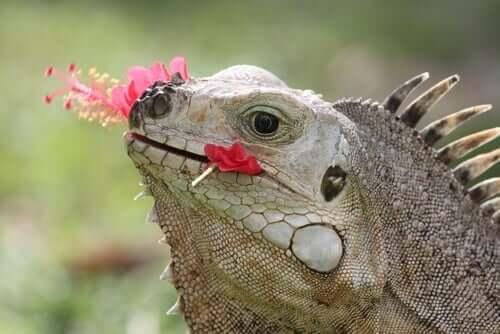Dieta dell'iguana: rettile mangia un fiore