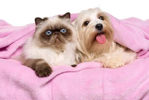 i gatti persiani sono molto socievoli nei confronti di esseri umani, cani e altri gatti