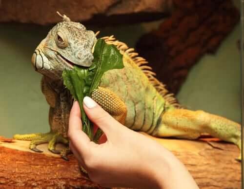 Iguana mangia una foglia