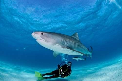 Le immersioni con gli squali sono pericolose