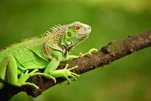 Dieta dell'iguana: ecco cosa deve mangiare