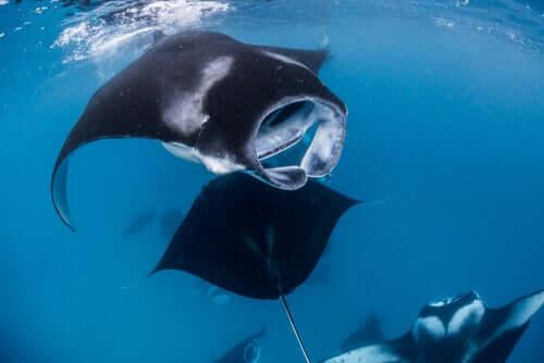 la manta gigante: gruppo di mante che nuotano