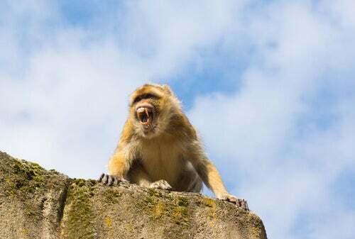 Macaco aggressivo