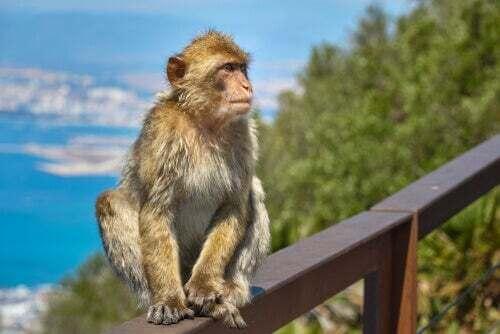 Macaco Gibilterra in Irlanda