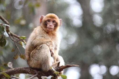Ritrovati i resti di un macaco di Gibilterra nell'Irlanda preistorica