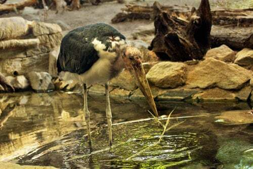 Marabù africano che pesca